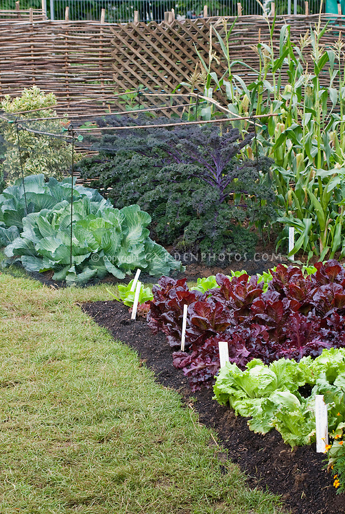 Veg garden with kale Redbor and cabbage protected under netting cover, corn, lawn, fence, red and green lettuces including Webb's Wonderful (green) and Stealth (red)