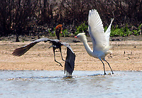 A dark morph reddish egret attacking a white morph reddish egret. The white bird was fishing in a pool when the dark bird flew in and attacked. The same behavior was noted at another pool and again the dark bird was the aggressor.