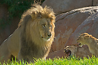 African Lion (Panthera leo) male facing two young lion kittens who seem intimidated by his size.