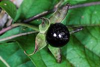 Tollkirsche, Toll-Kirsche, Belladonna, Frucht, Früchte, Atropa bella-donna, Atropa belladonna, Atropa bella donna, Deadly Nightshade