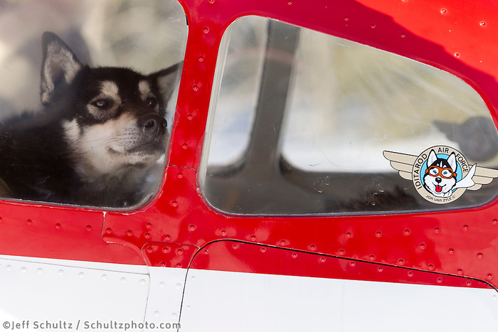 A dropped dog waits patiently inside pilot Wes Erb's plane at Rohn during the 2011 Iditarod.