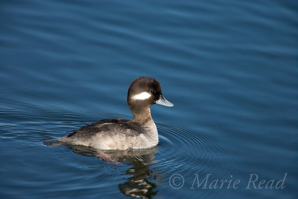 Bufflehead (Bucephala albeola), female, Bolsa Chica Ecological Reserve, California, USA