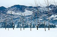 Ice Covered Trees after Winter Snowstorm, Enumclaw, Washington State, WA, USA.