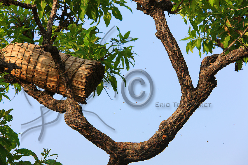 A beekeeper fastens into a tree a traditional cylindrical hive, made of the veins from raffia leaves, after having coated the sides with beeswax prepared in an infusion of citronella to attract a wild swarm of bees.
