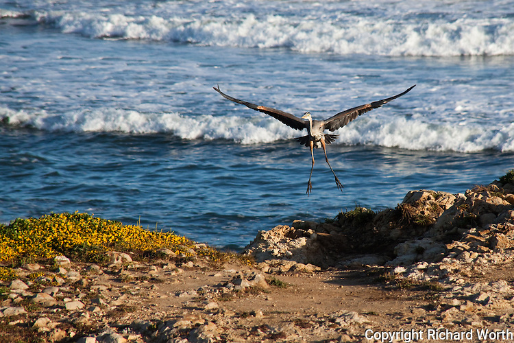 A Great Blue Heron  coming in for a landing next to a picnic area at Pescadero State Beach, CA.
