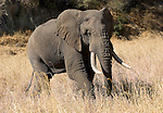 African Elephant in the Tarangire National Park.(Loxodonta africana).during the dry season..August 13, 2006.© Fitzroy Barrett..