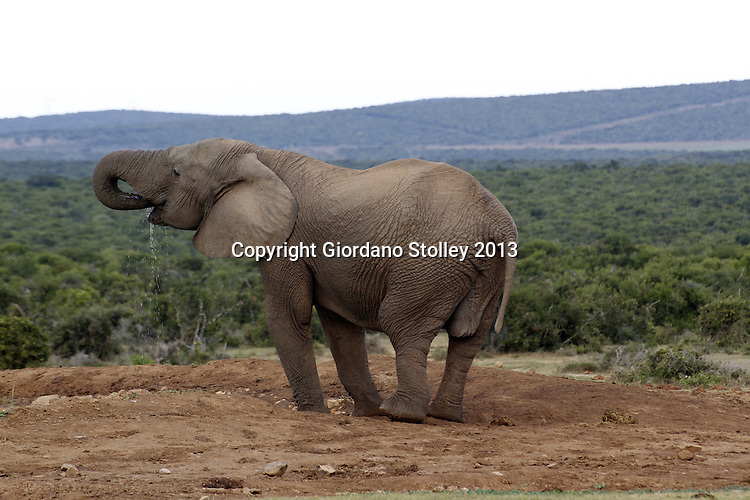 ADDO, EASTERN CAPE - 29 June 2013 - An elephant drinks water at the Addo Elephant National Park in the Eastern Cape in South Africa. Picture: Giordano Stolley