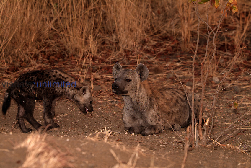 Spotted Hyena (Crocuta crocuta) mother and cub, Kruger National Park, South Africa