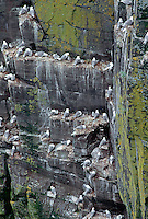 35-B04-KB-007    BLACK-LEGGED KITTIWAKES (Rissa tridactyla), adults with chicks nesting on ledges, Cape St. Mary's Ecological Reserve, Newfoundland, Canada                 .