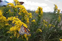 Monarch; Danaus plexippus; on goldenrod; NJ, Forsythe NWR