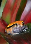 Tomato Frog, Dyscophus guineti,