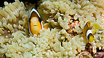 Clark's Anemonefish, Banda Sea, Indonesia