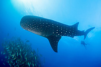 whale shark, Rhincodon typus, circling annual spawning aggregation of dog snappers, Lutjanus jocu, in order to feed on their eggs, Gladden Spit and Silk Cayes Marine Reserve, Placencia, Belize, Caribbean Sea, Atlantic Ocean