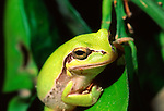 Asian Tree Frog, Cyprus