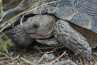 Desert Tortoise seen on the Sonoran Desert floor in southern Arizona.