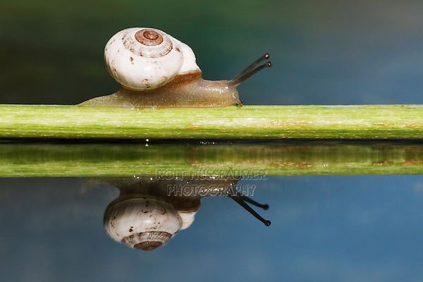Banded Scrubsnail (Praticolella berlandieriana), adult crawling on branch, Dinero, Lake Corpus Christi, South Texas, USA