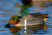 Green-winged Teal (Anas crecca) drake feeding.  Pacific Northwest. Winter. The green-winged teal is one of North America's smallest ducks, weighing around 12 ounces.  It has a wingspan of 23 inches and an overall length of 14 inches.