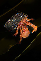 Hermit crab, Pagurus pubescens.Atlantic marine life, Saltstraumen, Bodö, Norway