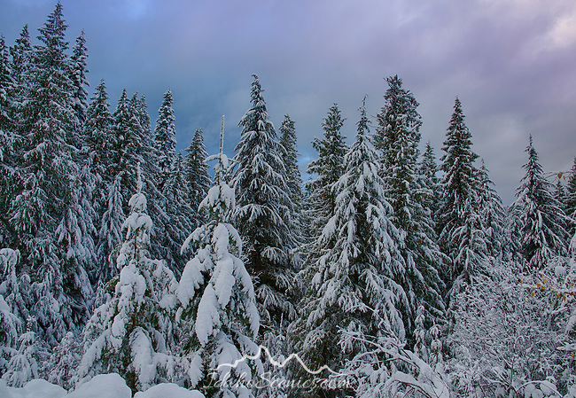 IDaho, North, Coeur d'Alene. Snow covered trees in the Coeur d'Alene District of the Idaho Panhandle National Forest in winter.