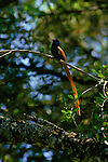 Paradise Flycatcher perched in a tree in Kenya.