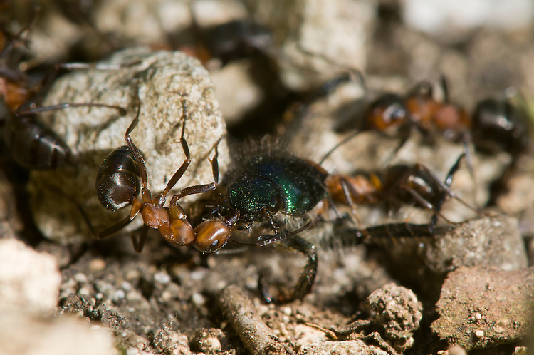 Wood ant, Formica rufa, with beetle prey being dragged back to nest. Sapperton, Gloucestershire. UK.