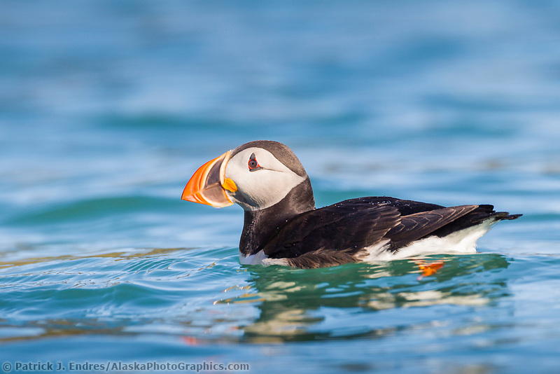 Atlantic puffin swims in the blue water off an island in Svalbard