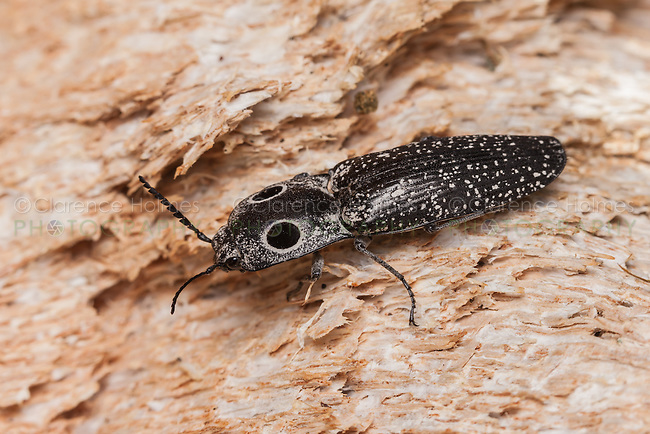 An Eyed Click Beetle (Alaus oculatus) perches on the exposed wood of a fallen dead oak tree.