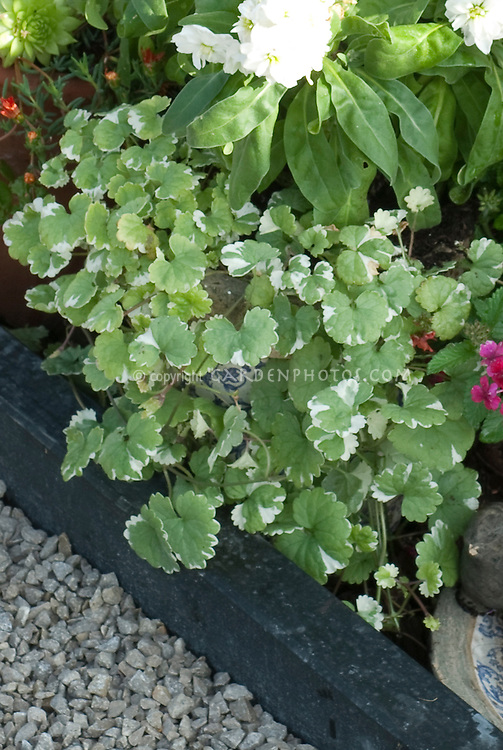 Annual foliage plant Glechoma hederacea Variegata, Creeping Charlie, weed