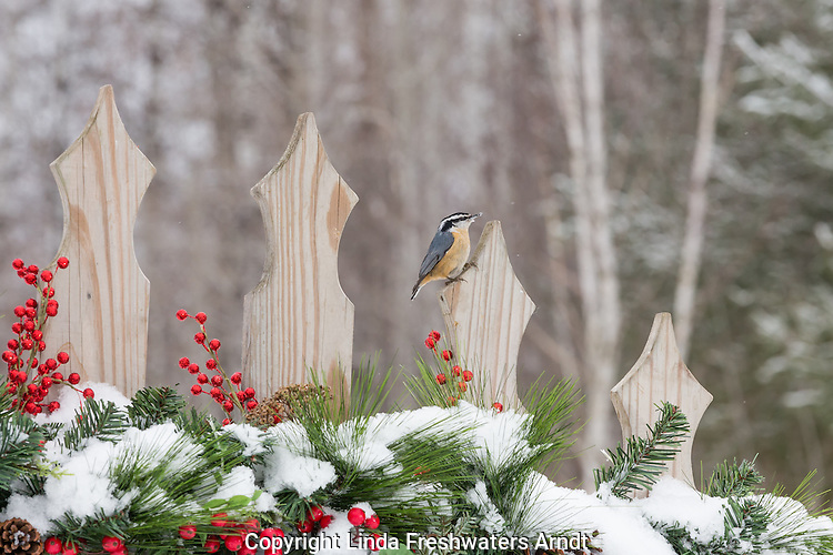 Red-breasted nuthatch on a festive backyard fence
