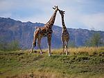 2 giraffes and the Santa Rosa Mountains