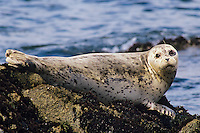 Harbor seal (Phoca vitulina).