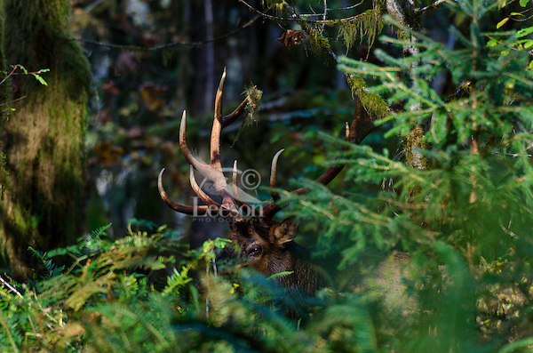 Roosevelt Elk Bull (Cervus canadensis roosevelti) in heavy timber.  Pacific Northwest.  Late October.