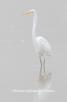 00688-02512 Great Egret (Ardea alba) feeding in wetland in fog, Marion Co., IL