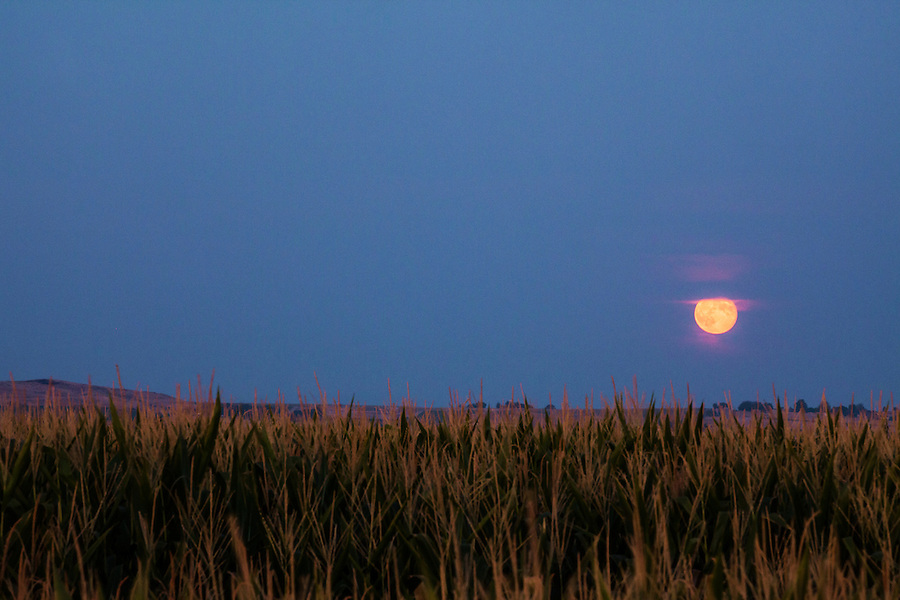 A golden moon rises shortly after twilight above a corn field in Southwest Idaho on a hot summer day.