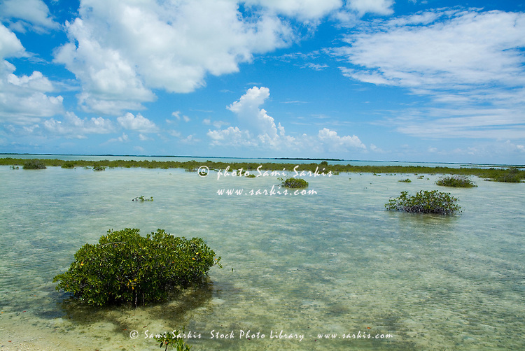 Mangroves growing in the waters near Cayo Santa-Maria, Cuba.