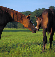 Thoroughbred mare and foal with noses touching.