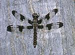 912-HC Libellula pulchella, Twelve-Spot Skimmer in Ohio, USA.