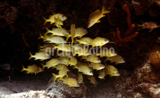 A shoal of yellow fishes are seen near the coast of Playa del Carmen, Yucatan, Mexico on October 12, 2006..Born in Argentina, photographer Ivan Pisarenko in 2005  decided to ride his motorcycle across the American continent. While traveling Ivan is gathering an exceptional photographic document on the more diverse corners of the region. Archivolatino will publish several stories by this talented young photographer...Closer look at  Ivan's page www.americaendosruedas.com......