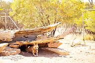 Image Ref: CA563<br /> Location: Desert Park, Alice Springs<br /> Date of Shot: 17.09.18