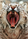 Bobcat yawn, cat teeth, teeth, Bobcat, Lynx, felidae, predator, whiskered face, black tufted ears, brown coat, Bobcat, Lynx, felidae, predator, whiskered face, black tufted ears, brown coat, Animal, wild animals, domestic animals,  Fine Art Photography, Ronald T. Bennett (c) cat, disambiguation, felis catus, hunt vermin, growling, hissing, puring, chirping, clicking, Felis silvestris lybica, felidae, felinae, felis,