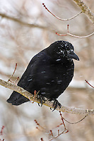 Common Crow (Corvus brachyrhynchos) in winter snowfall. Nova Scotia, Canada.