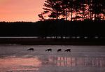 Sika deer feeding at dusk, Chincoteague National Wildlife Refuge, Virginia