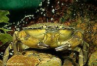 1Y34-025z  Green Crab - Carcinus maenus
