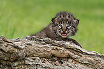 Bobcat kitten trying to look ferocious but looking precious instead.<br /> <br /> Available sizes:<br /> 18&quot; x 12&quot; print <br /> 18&quot; x 12&quot; canvas gallery wrap <br /> 24&quot; x 16&quot; print<br /> See Pricing page for more information Also available as a mousepad or greeting cards.