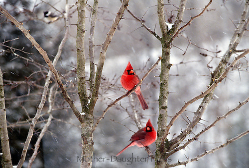 Warm red on a cold day: Two male cardinals, Cardinals cardinalis, perch in thorny tree in snowfall