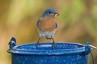 Male eastern bluebird with mealworms in his beak
