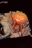 Erdbeerspinne, Erdbeer-Spinne, Sumpf-Kreuzspinne, Sumpfkreuzspinne, Weibchen, Araneus alsine, Strawberry Spider, Orange Wheelweaving Spider, female, l'Épeire alsine. Echte Radnetzspinnen, Araneidae