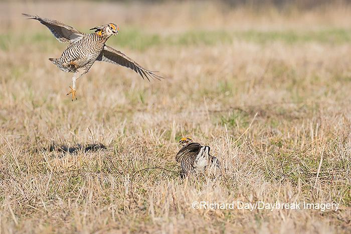 00842-06007 Greater Prairie-Chickens (Tympanuchus cupido) males fighting-territorial dispute on lek Prairie Ridge State Natural Area, Marion Co. IL