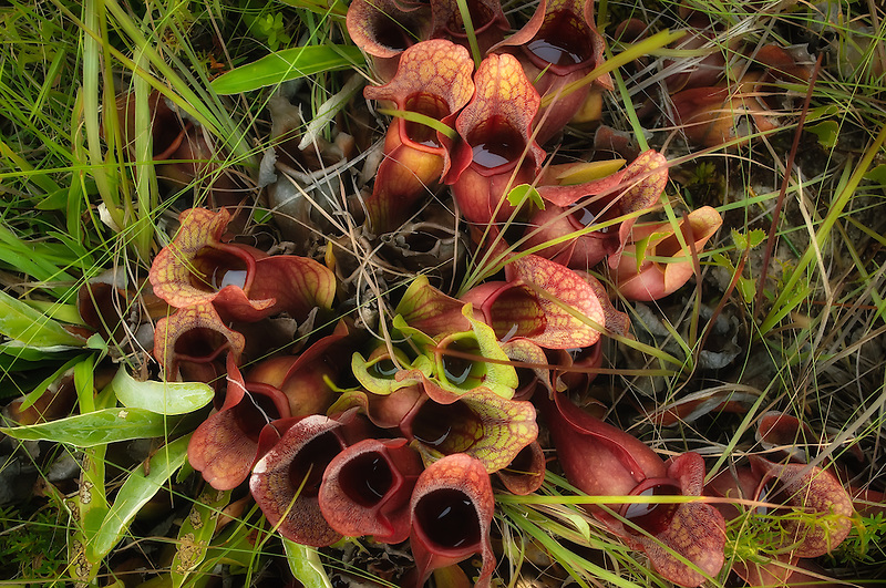 The gulf purple pitcher plant is the only Florida pitcher plant that collects rainwater - possibly as part of its insect-catching strategy.