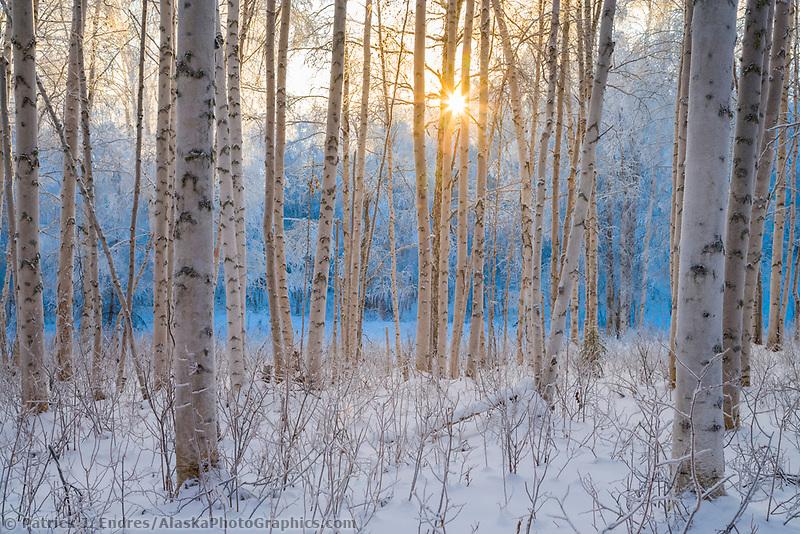 Alaska paper birch trees in winter hoar frost, Fairbanks, Alaska
